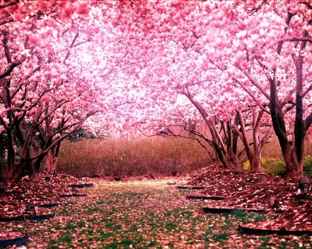 In Observance Of Memorial Day Thank You Cherry Blossom Wallpaper Blossom Trees Spring Wallpaper