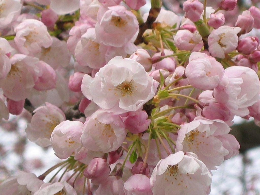 Spring Flowering Cherry Tree Apple Blossom Flower Ornamental Cherry