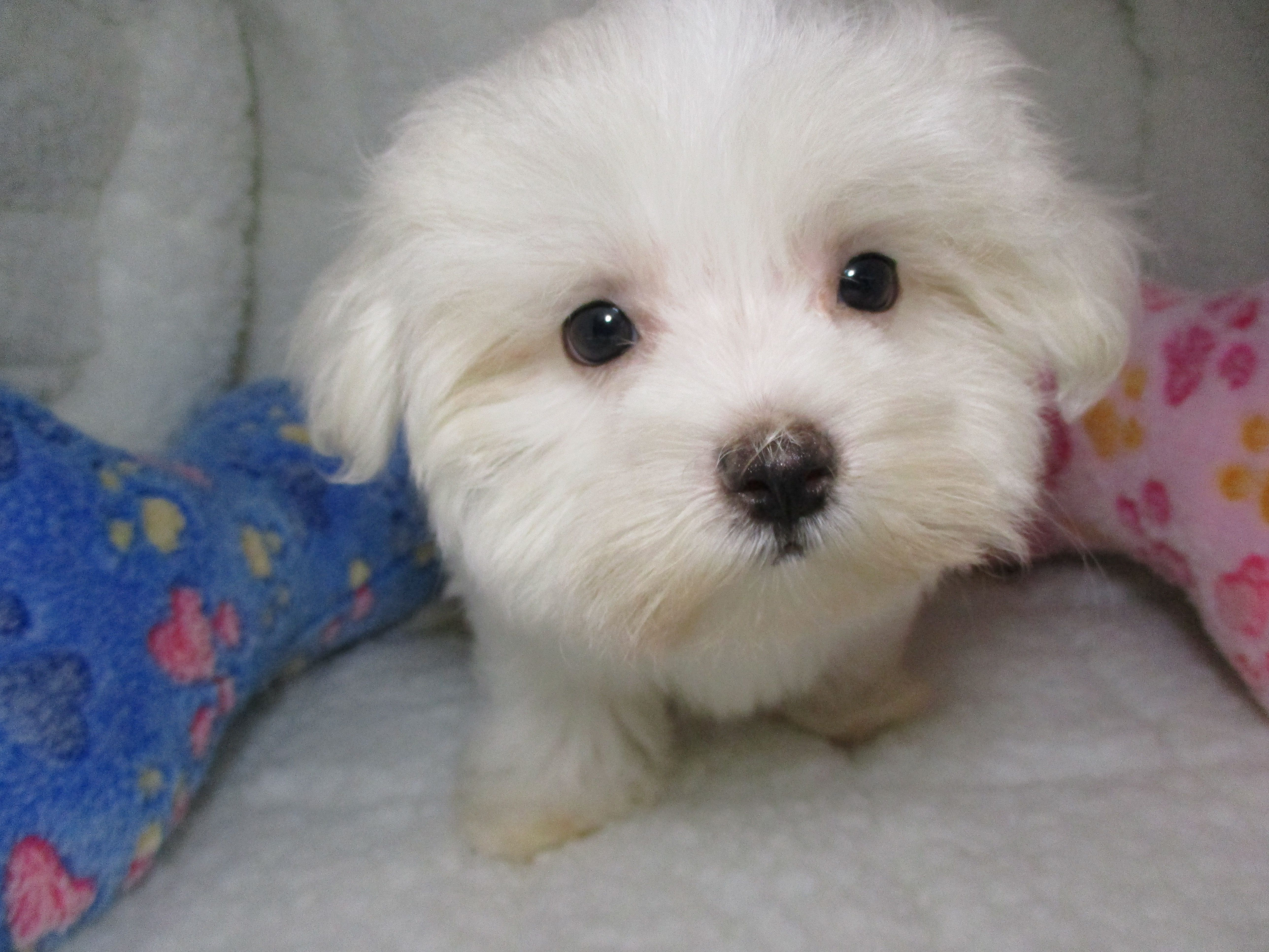 Maltese 3931 Maltese Puppies Puppies For Sale