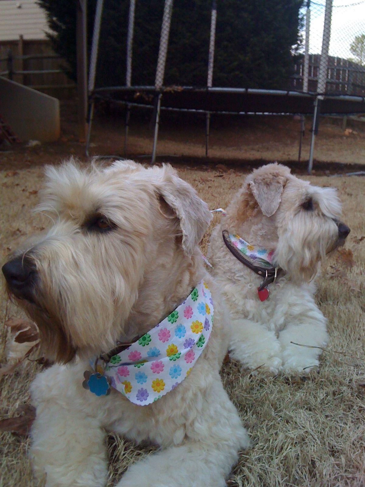 Fresh Haircuts Soft Coat Wheaten Terriers Pinterest Haircuts