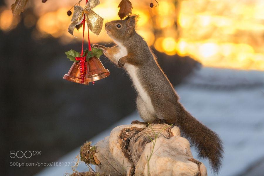 Christmas Is Calling By Geertweggen Animals Animal Pet Pets Animales Animallovers Photooftheday Amazing Picoftheday 動物 リス