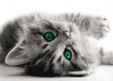 XXL poster wall mural wallpaper cat kittens grey black white photo 160 cm x 115 cm / 1.75 yd x 1.26 yd order online