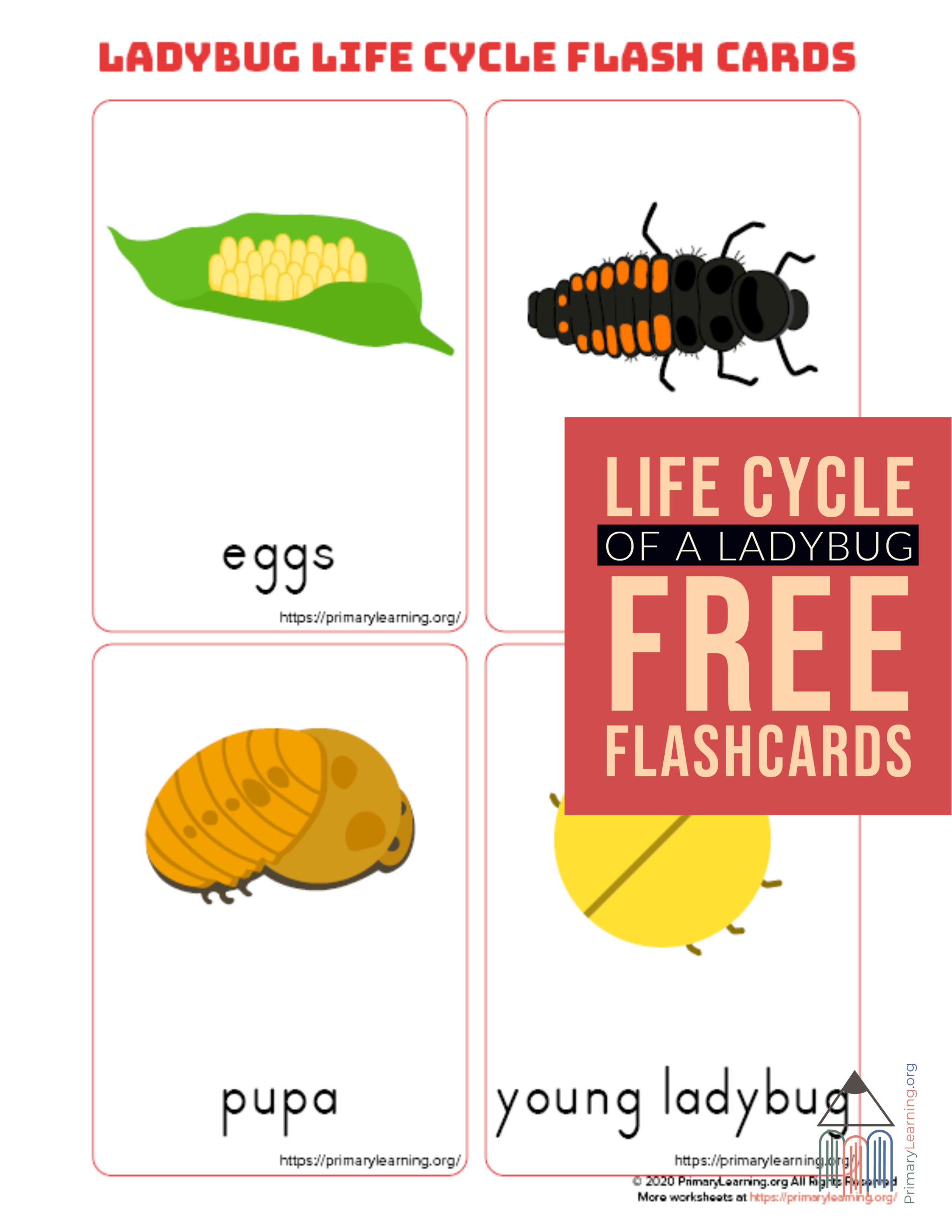 Ladybug Life Cycle Flashcards