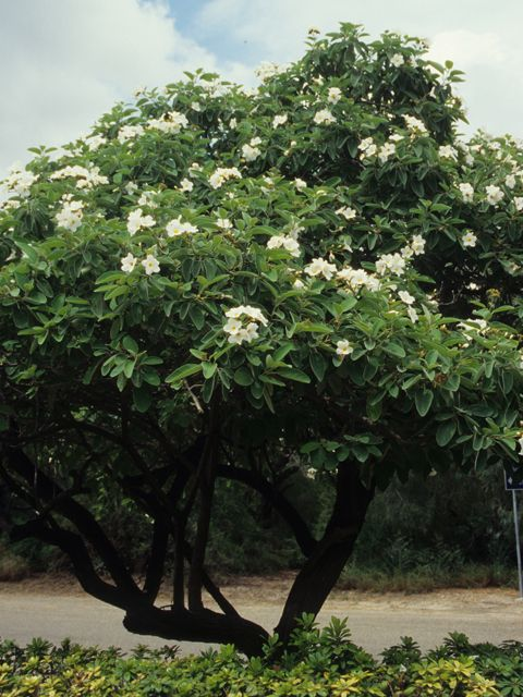 Mexican Olive It 39 S Very Petite And Well Mannered A Beautiful Tree Trees For Central Texas