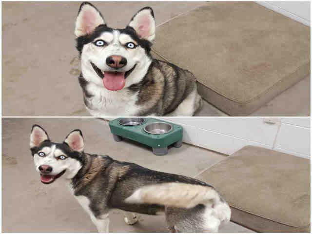 Siberian Husky Dog For Adoption In Brighton Co Adn 439419 On