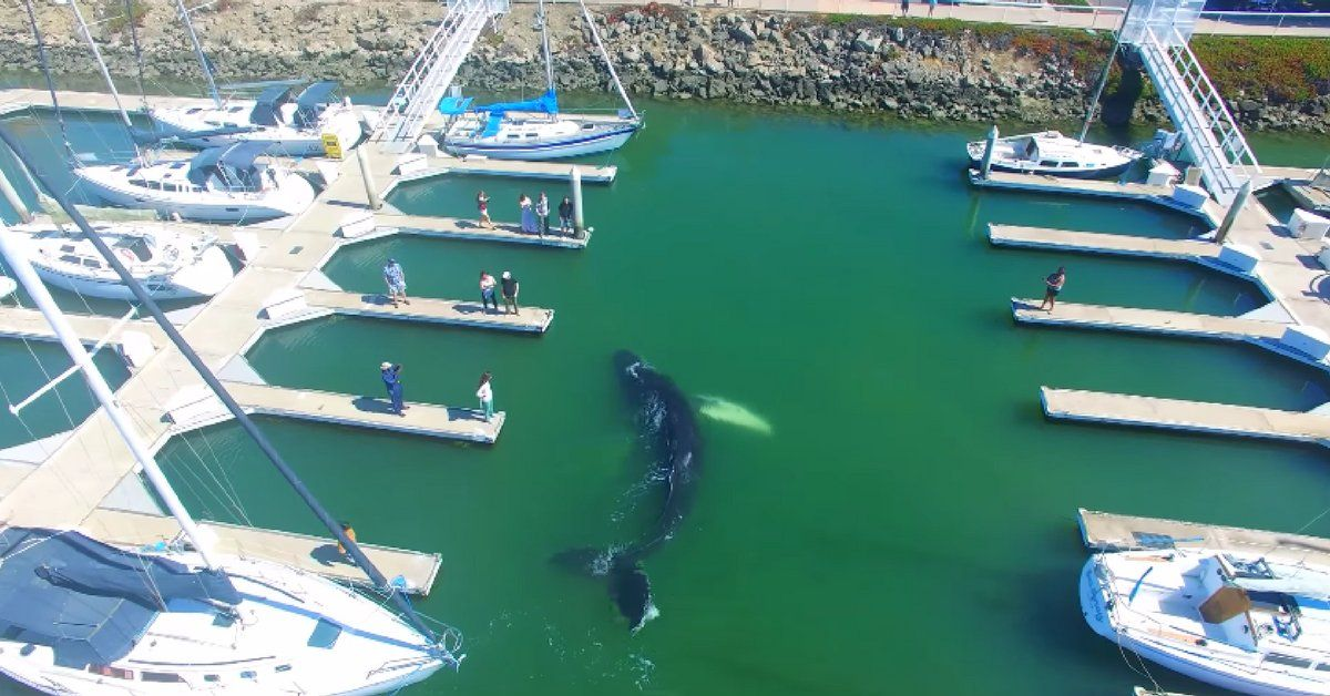 La nage de cette baleine en plein port au Canada est