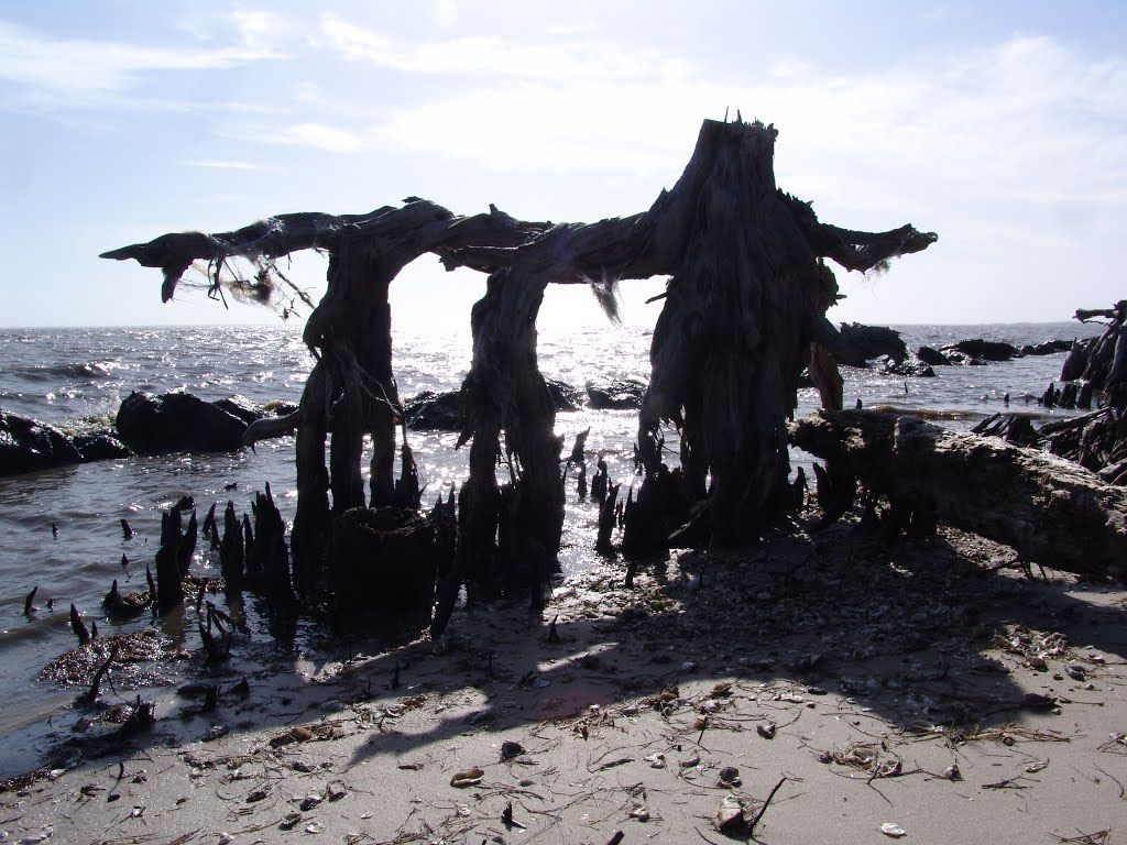 Ken Badgley - coastal errosion on the Gulf of Mexico, Pine tree root