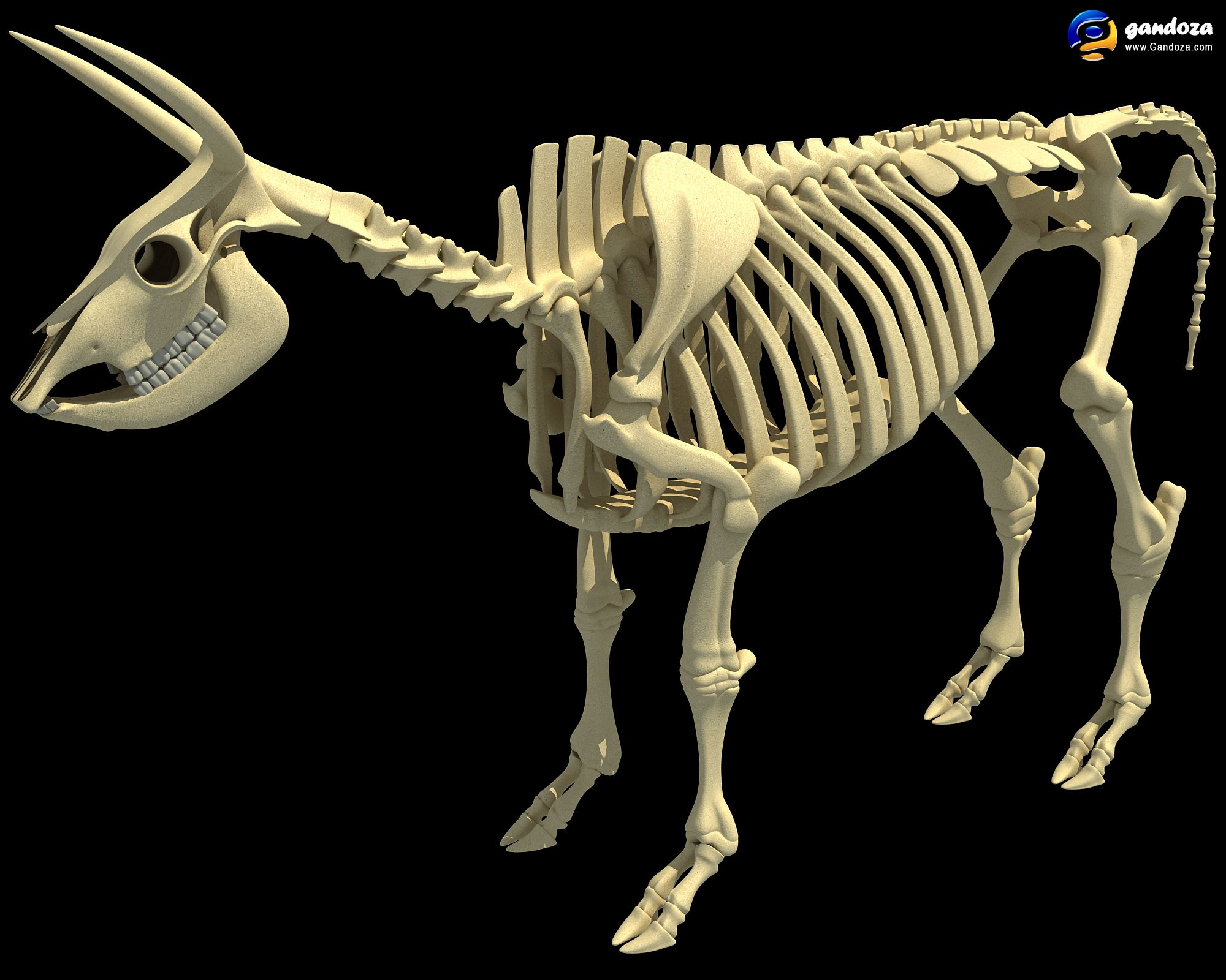 Comparative Anatomy Of Forelimb Of Camel Ox And Horse: Animals Skeleton Cow 3D Model
