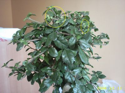 Vamos a aprender a cuidar un bonsai carmona