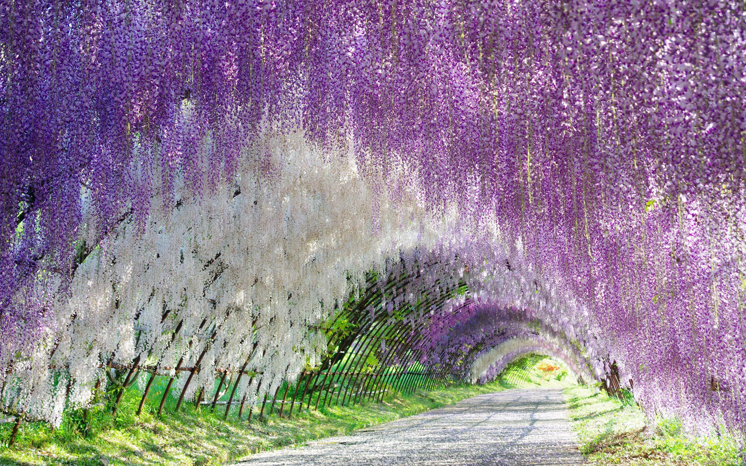 Wisteria Tunnel Kawachi Wisteria Gardens Kitakyushu Japan Photographer Unknown Kitakyushu Colorful Places Magical Places