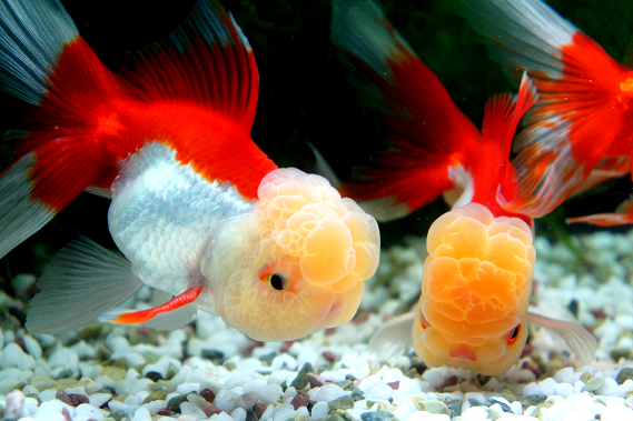 Goldfish Orandas Goldfish Species Oranda Goldfish Freshwater Aquarium Fish