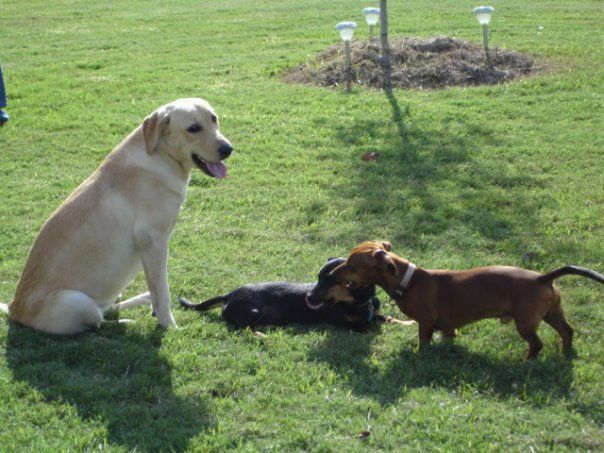 Pet Medications 75 Discount Free Review Pet Medications Pets Labrador Retriever