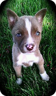 Border Collie American Pit Bull Terrier Mix I think I
