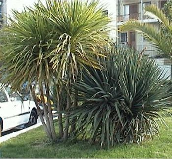 cordyline dracaena indivisa palmiers pinterest terrasse jardin palmiers et la terrasse. Black Bedroom Furniture Sets. Home Design Ideas