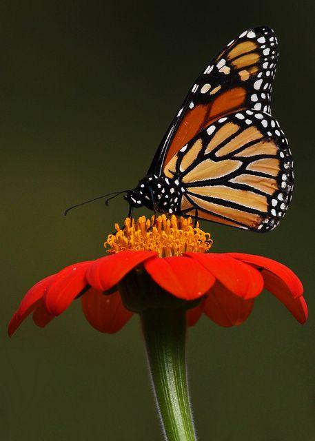Monarch Butterfly...#7