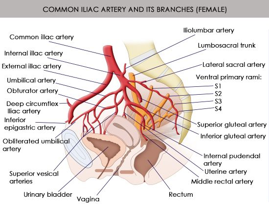 anatomy and function of the common iliac artery with labeled, Human Body