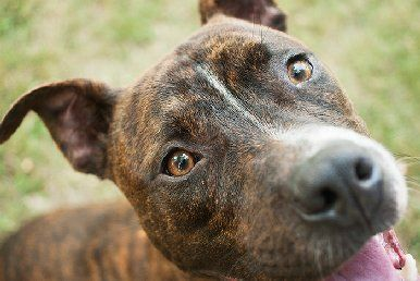 Adopt Cocoa On Pitbull Terrier York Dog Animal Rescue