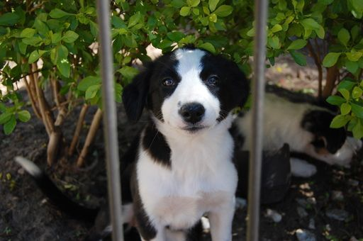 Litter Of 4 Border Collie Puppies For Sale In Orlando Fl Adn