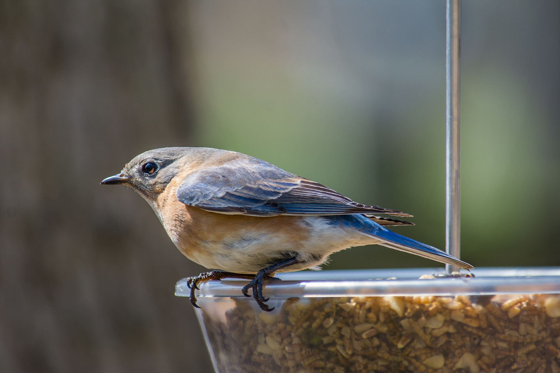 Want to know how to attract bluebirds to your yard ...