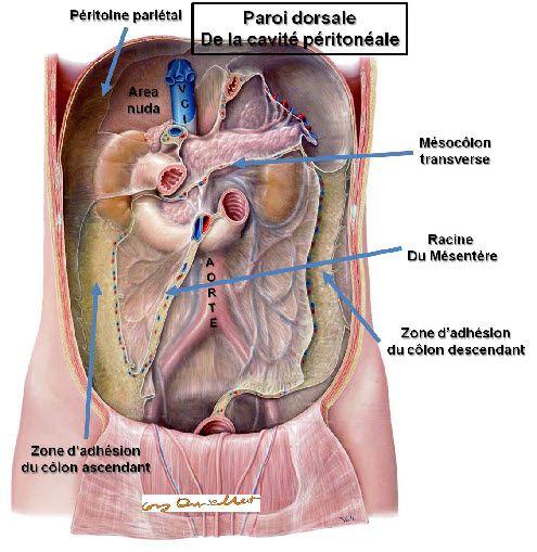 Cavité abdominale paroi dorsale | Anatomy | Pinterest