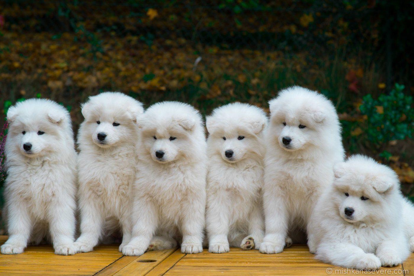 Samoyed Puppy Google Search Dog Breeds Samoyed Puppy