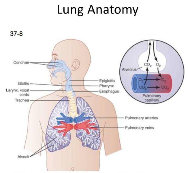 Lung gross anatomy - www.anatomynote.com   Anatomy note world ...