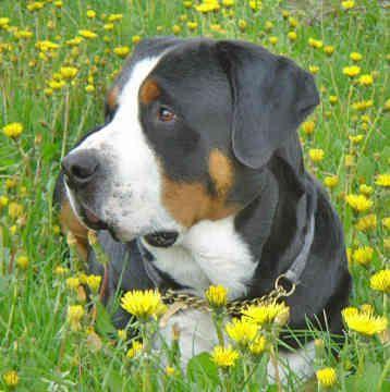 Greater Swiss Mountain Dog / Grosser Schweizer Sennenhund