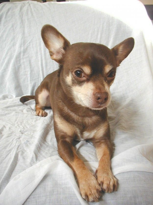 Chihuahua Best Small Dogs Best Small Dog Breeds