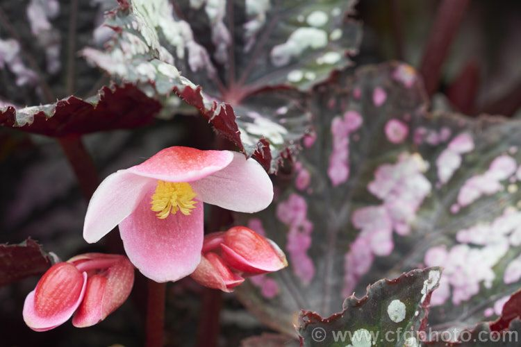 The Flowers Of A Painted Leaf Begonia King Begonia Begonia Rex A Rhizomatous Species Native To Assam Notable For Its Heavily Begonia Foliage Farm Gardens