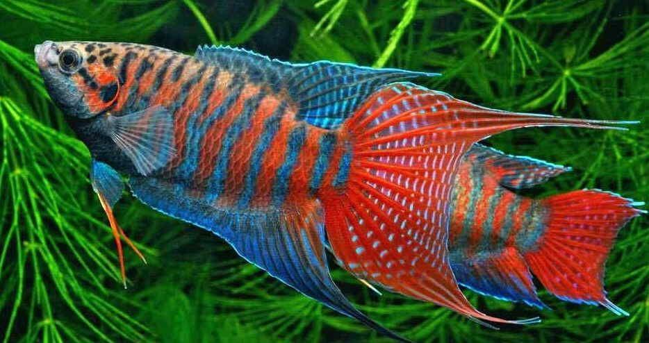 Macropodus Opercularis Aquarium Fish Tropical Fish Tropical Freshwater Fish