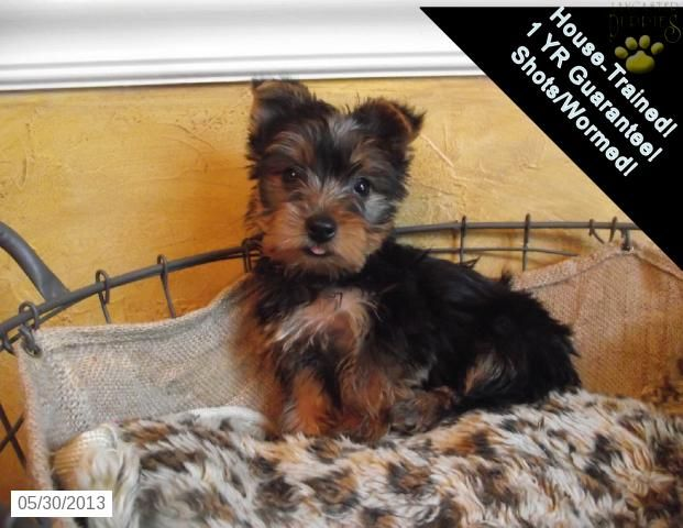 Aiden Yorkshire Terrier Puppy For Sale In York Pa Yorkshire