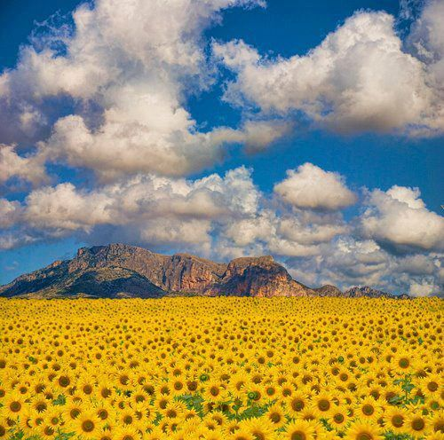 Sunflower field, Valencia, Spain