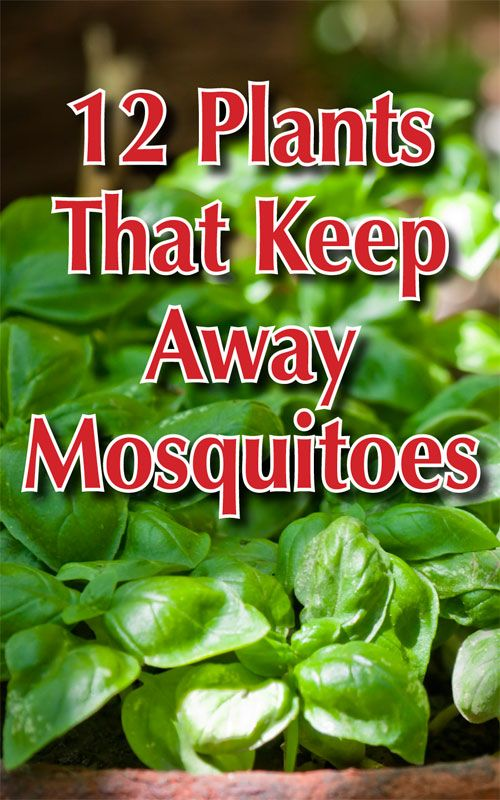 12 Plants That Keep Away Mosquitoes | YARD FRONT & BACK ...