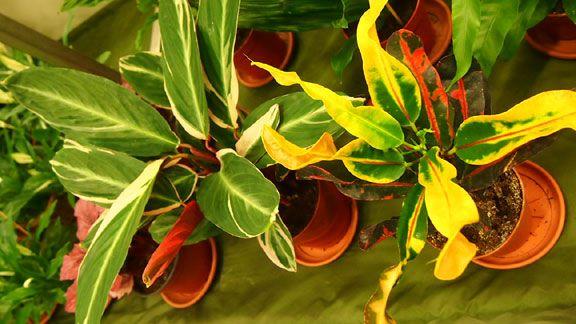Ihmepensas eli ''krootoni'' (Codiaeum variegatum var. pictum)