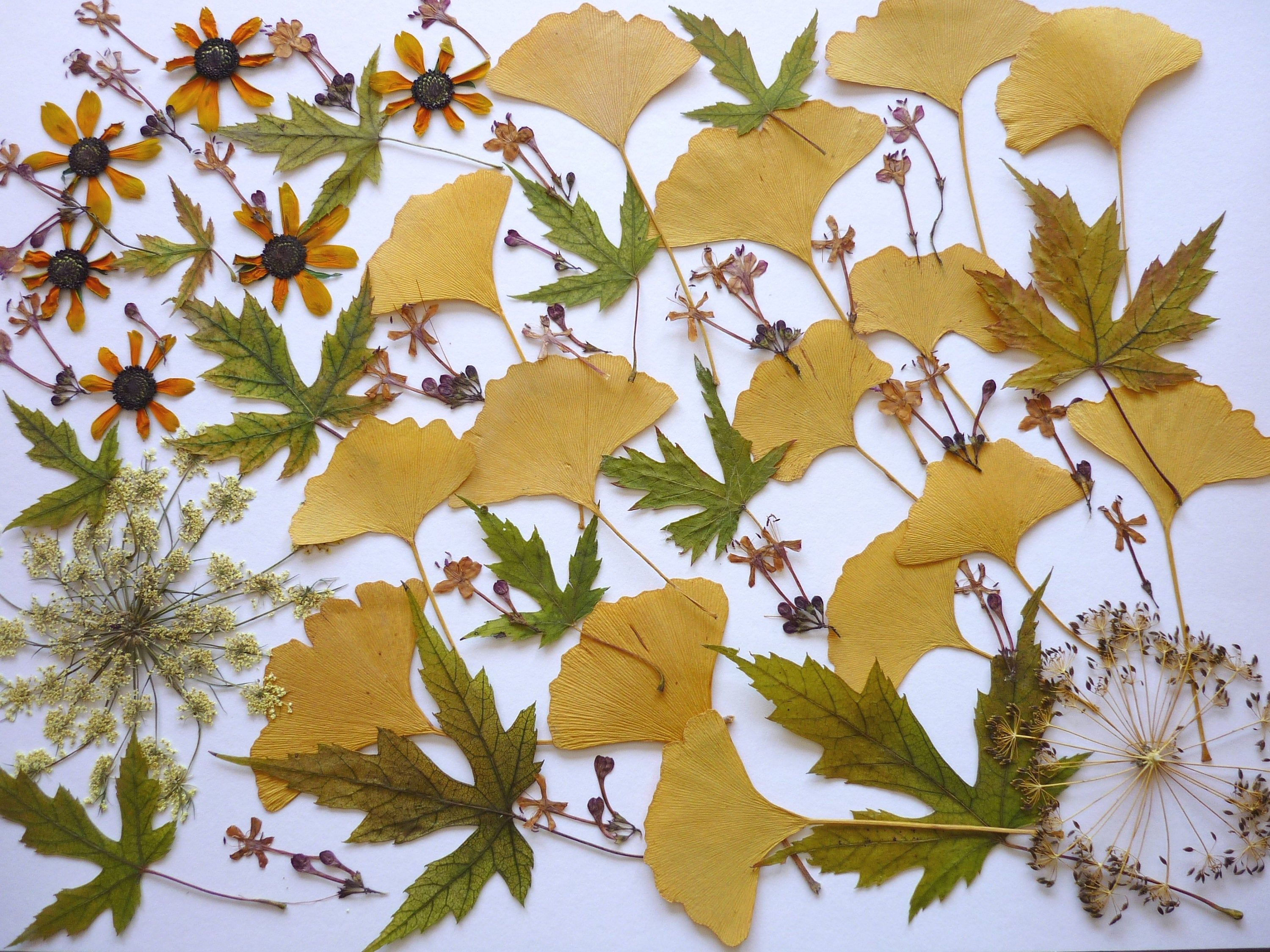Gingko Leaves Pressed Flower Art Dried Flowers Real Gingko Leaf Dry Flowers Pressed Flower For Wedding Decoration Jewelry Making In 2020 Flower Art Pressed Flower Art Pressed Flowers