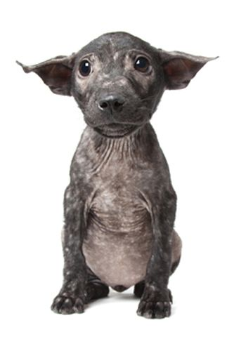Dobby Canine Gallery Houndstooth Studio Animal And Pet Photography Perth Western Australia Baby Animals Animals