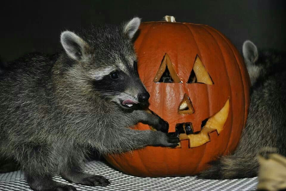 A raccoon rehab in South Fl has old pumpkins donated for