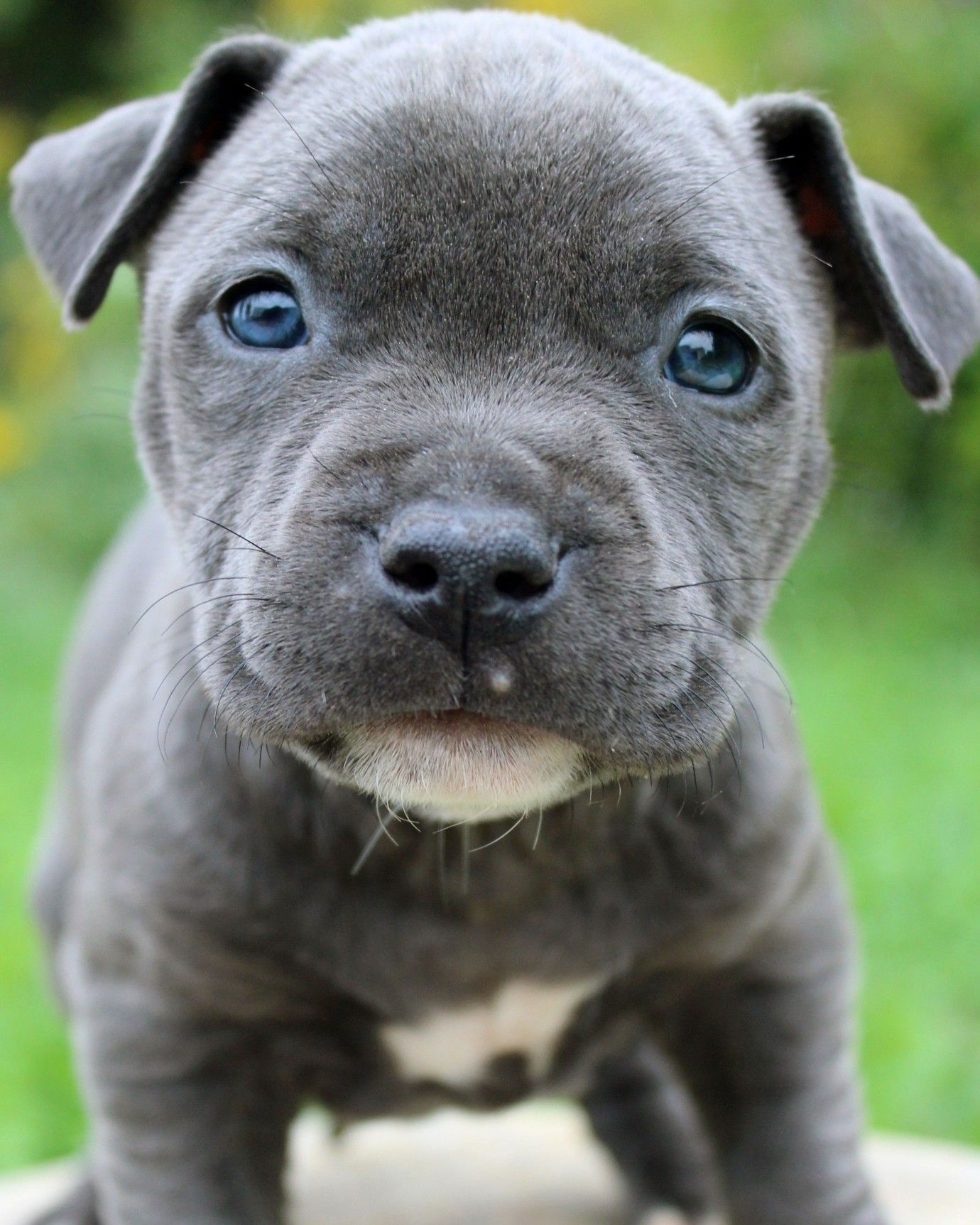 Here Is A Photo Of An Amazing Blue Pitbull Puppy That We Have For