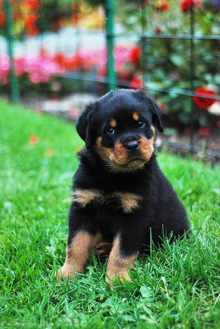 Rottweiler 45 Days Old Puppies Rottweiler Puppies