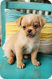 Nashville Tn Pekingese Mix Meet Nod A Puppy For Adoption
