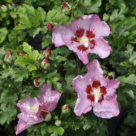 Hibiscus syriacus 39 roseablane 39 feuillage caduc arbuste et belles fleurs - Arbuste fleur rose ...