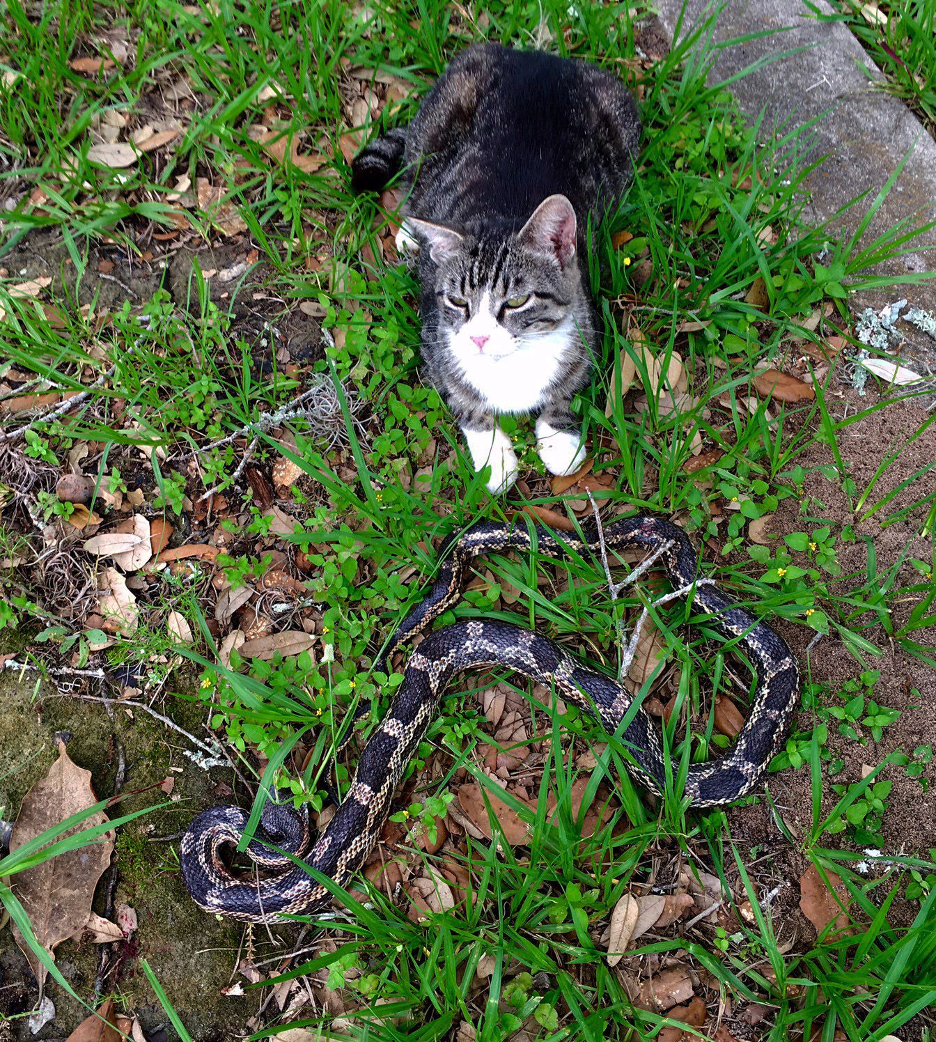 This is Martha, one of my colony cats showing off her amazing kill ---A Texas Chicken snake.  Doesn't she look proud?