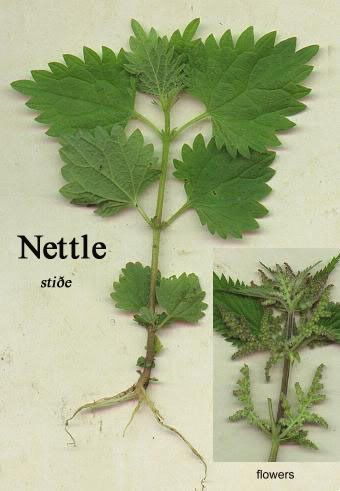Stinging Nettle - Survivalist Forum