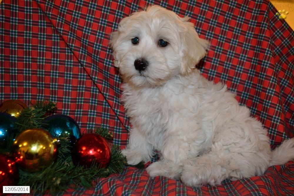 Sugar Havapoo Puppy For Sale In Millersburg Oh Havapoo Puppies Puppies For Sale Christmas Dog
