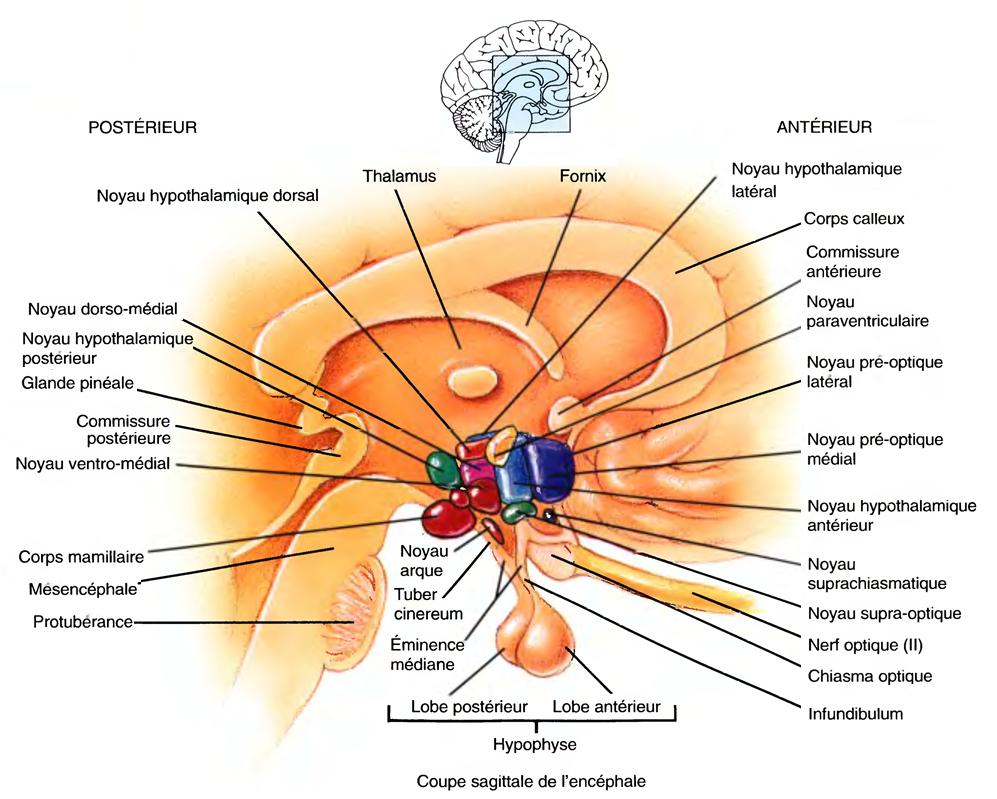 L\'hypothalamus | Anatomie humaine , human Anatomy. | Pinterest