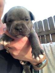 Puppies For Sale Dogs In Australia Staffordshire Bull Terrier Puppies Puppies Puppies For Sale