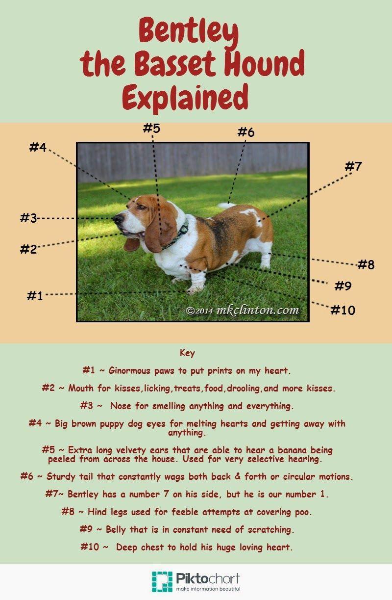 Bentley The Basset Hound Explained Basset Hound Dog Poems