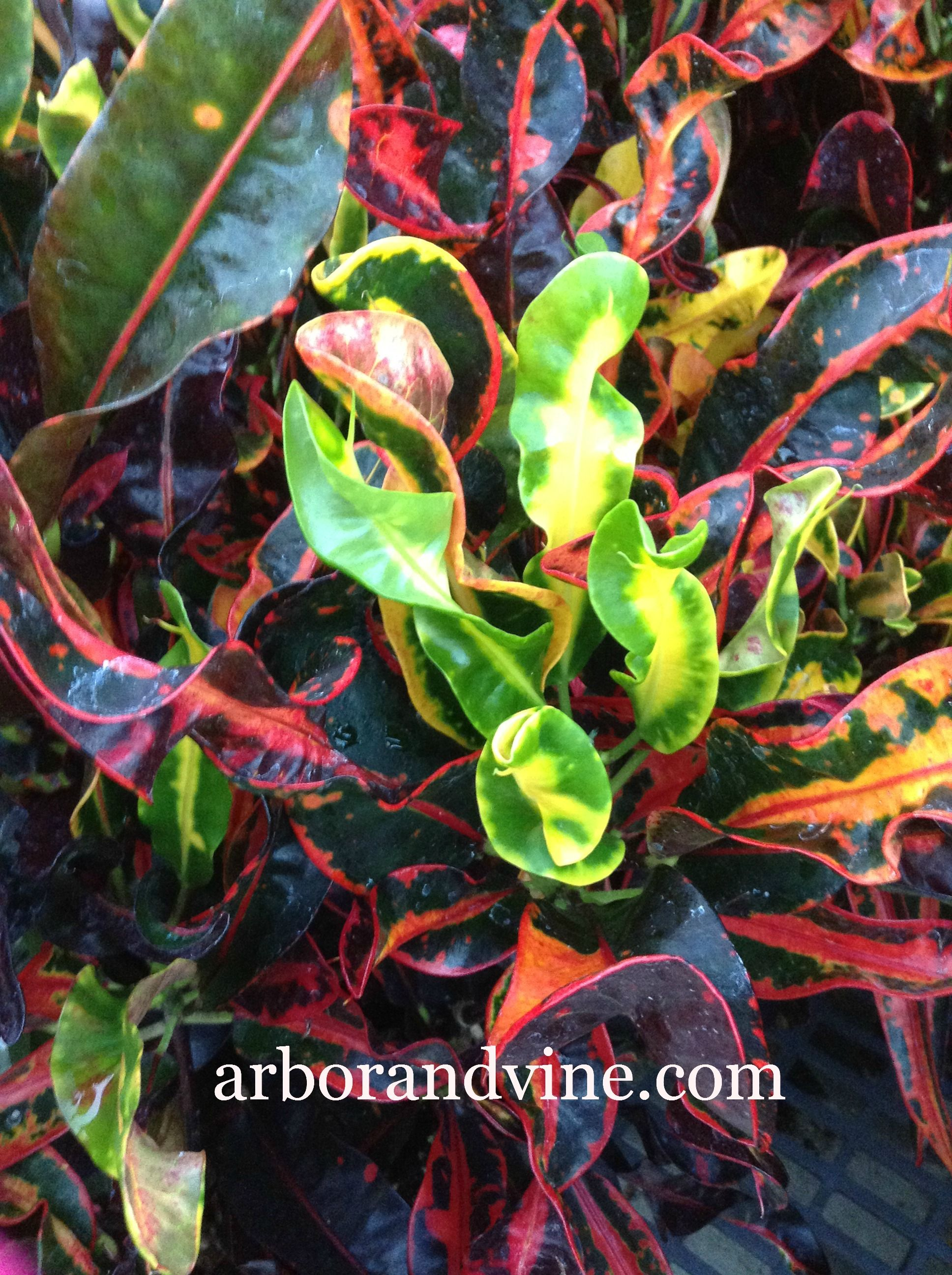 Croton Red Mammey 400 x 300