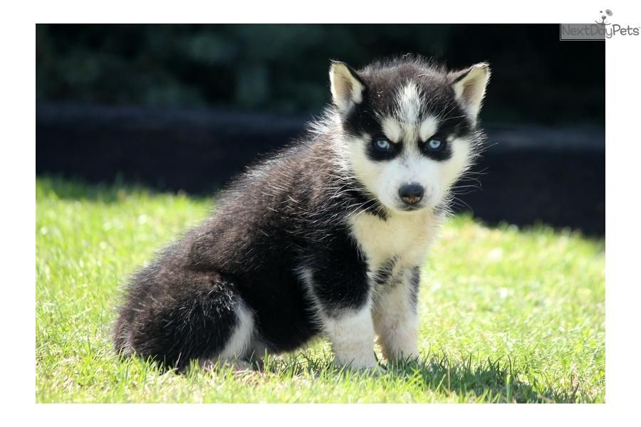 Jordan Siberian Husky Husky Siberian Husky Siberian Husky For Sale