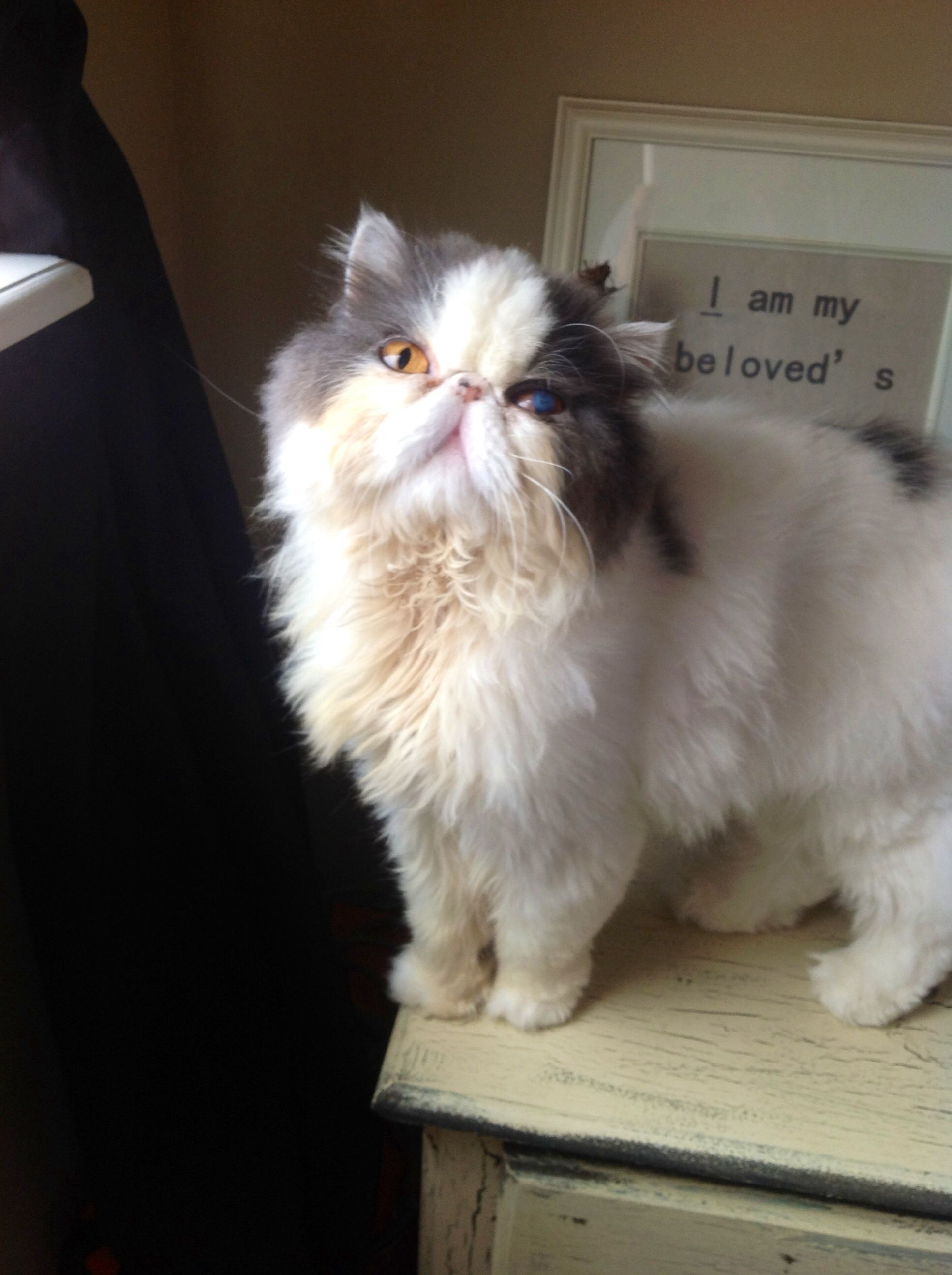 Persian Kittens For Adoption In Florida